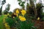 Daffodills :) My favourites