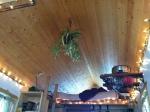 Spider plant chandelier!